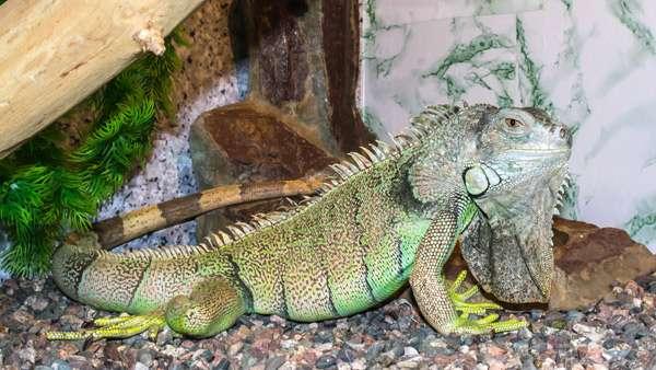 Зеленая игуана, фото рептилии фотография