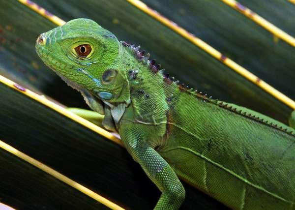 Молодая зеленая игуана, фото рептилии фотография картинка