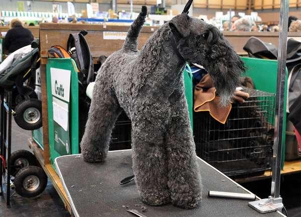 Керри-блю-терьер на выставке, фото породы собак фотография