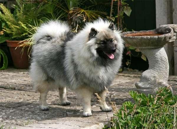 Кеесхонд, вольшпиц, фото породы собаки фотография