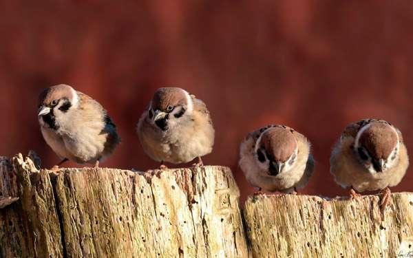 Воробьи, фото фотография птицы