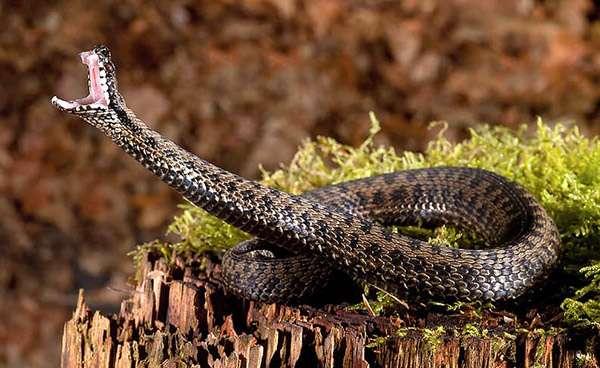 Атакующая змея, фото рептилии фотография картинка