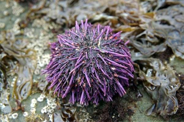 Фиолетовый морской еж (Strongylocentrotus purpuratus), фото иглокожие животные фотография