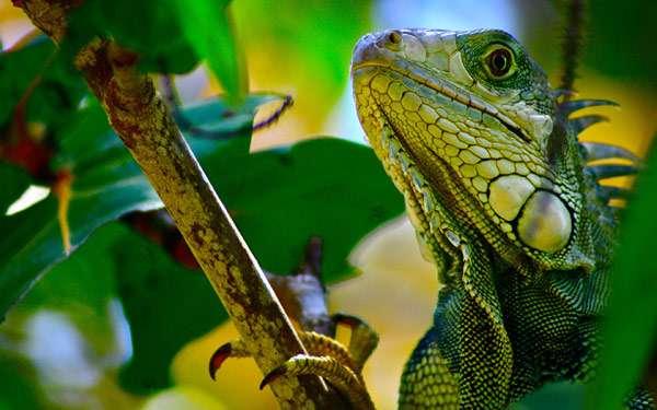 Зеленая игуана (Iguana iguana), фото рептилии ящерицы фотография