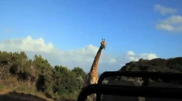 Жираф преследует машину туристов, фото фотография
