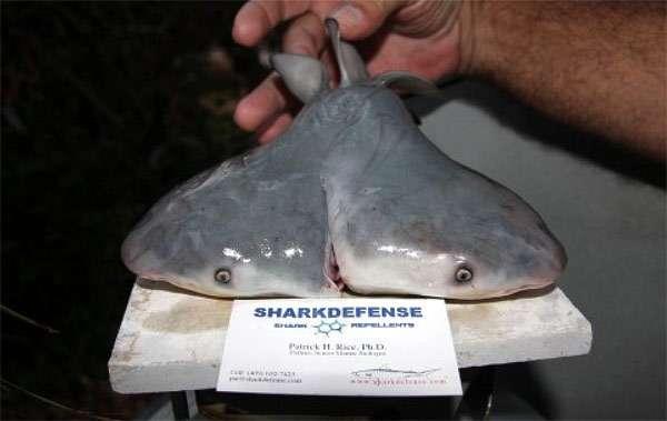 Зародыш акулы-быка с двумя головами, фото рыбы фотография картинка