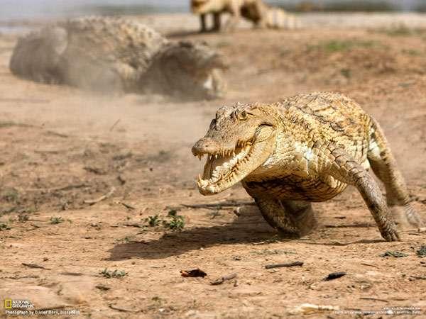 Бегущий крокодил, фото рептилии фотография картинка