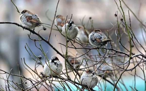 Воробьи сидят на ветке, фото птицы фотография картинка