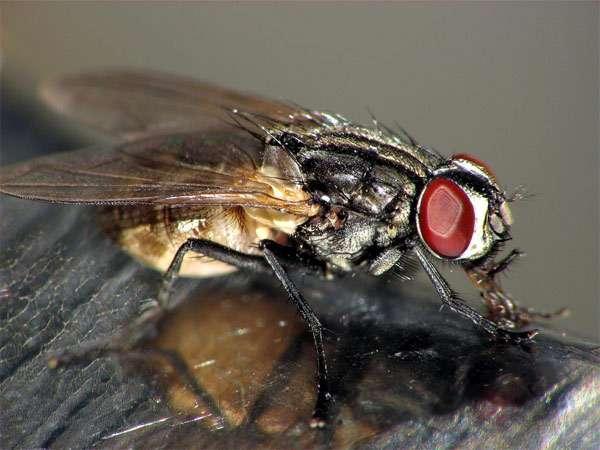 Комнатная муха (Musca domestica), фото двукрылые насекомые фотография