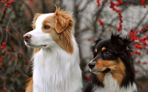 собаки похожие на бордер колли
