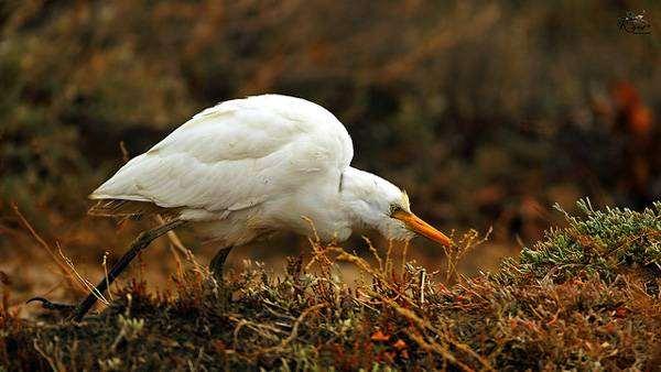Египетская цапля (Bubulcus ibis), фото птицы фотография