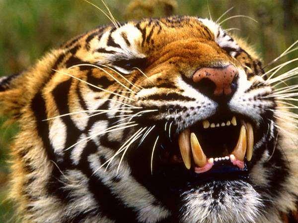 Бенгальский тигр (Panthera tigris tigris, Panthera tigris bengalensis), фото хищники фотография