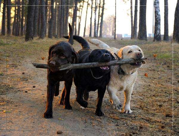 Лабладоры на прогулке, фото поведение собаки фотография