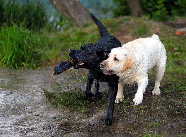 Лабрадоры, фото вредные привычки у собак фотография