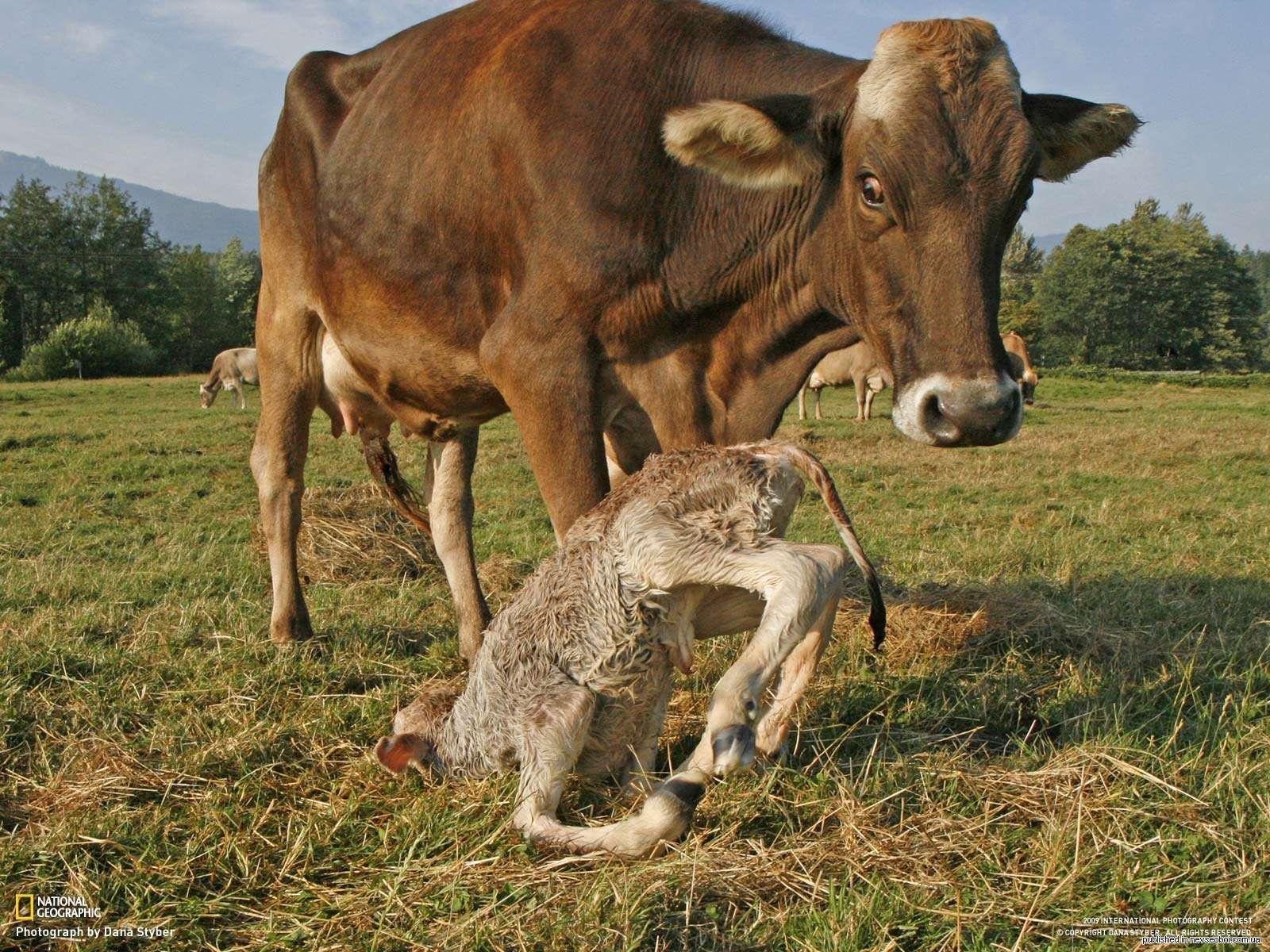 Корова и новорожденный теленок фото, Корова и ...