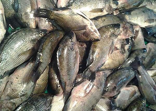 Сырая рыба, карповые рыбы, фото фотография