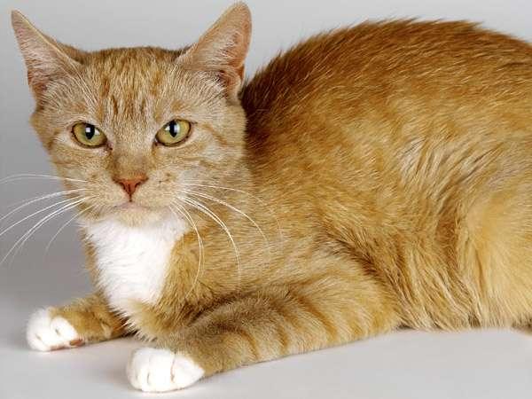 Рыжая кошка, рыжий кот, фото фотография