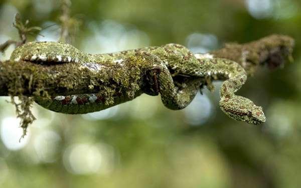 Зеленая змея на дереве, фото рептилии фотография пресмыкающиеся