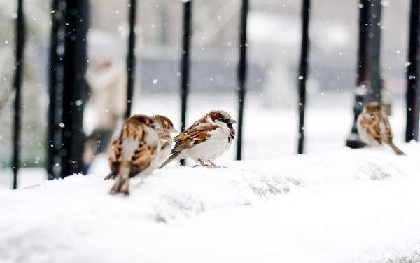 Воробьи запорошенные снегом, фото птицы фотография картинка