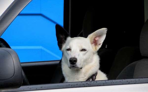 Собака за рулем автомобиля, фото фотография