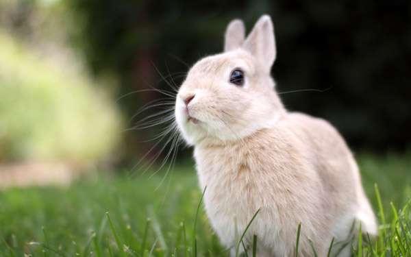 Карликовый кролик на поляне, фото фотография