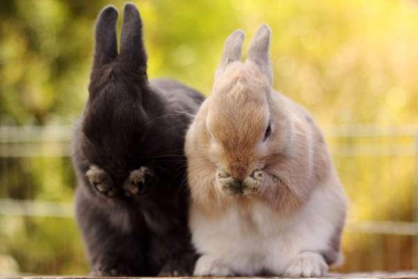 Умывающиеся кролики, фото фотография