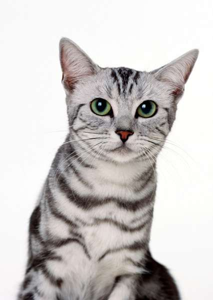 Египетская мау, фото фотография кошки