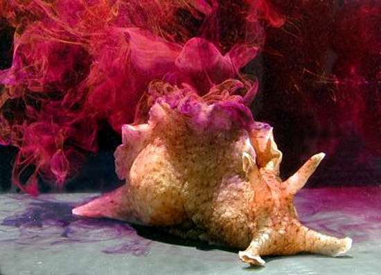 Калифорнийская аплизия (Aplysia californica), фото фотография моллюски