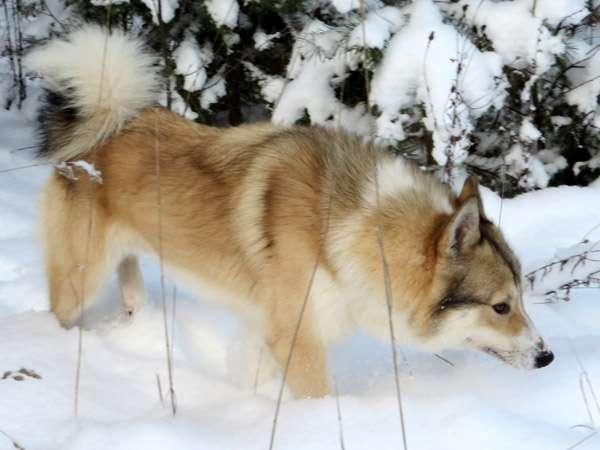 Западносибирская лайка, фото породы собаки фотография