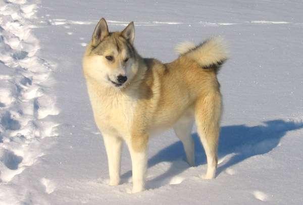 Западносибирская лайка, фото породы охотничьих собак фотография картинка