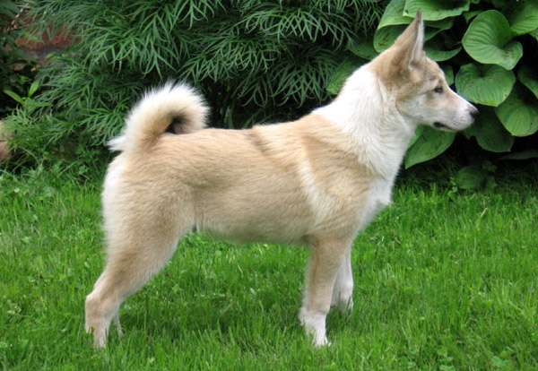 Щенок западно-сибирской лайки, фото охотничьи собаки фотография