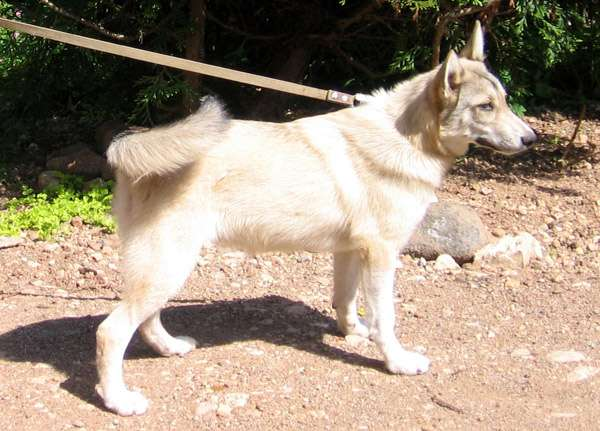 Западно-сибирская лайка: все о собаке, фото, описание породы ...   431x600