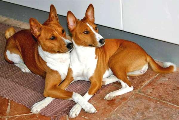 Басенджи, фото породы собаки фотография картинка