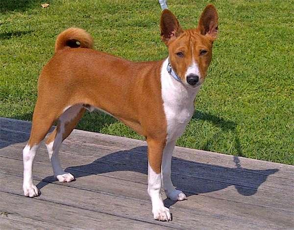 Басенджи, фото породы собаки фотография изображение