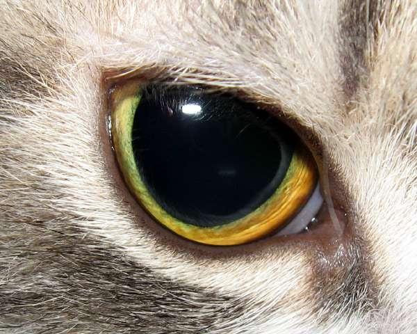 Кошачий глаз с расширенным зрачком, фото кошки фотография картинка