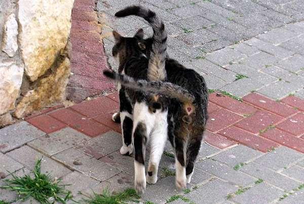 Два кота обнимаются хвостами, фото кошки фотография картинка