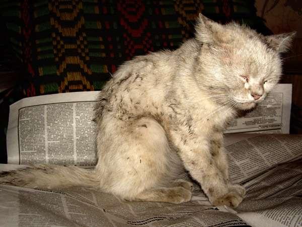 Колтун у кота на спине