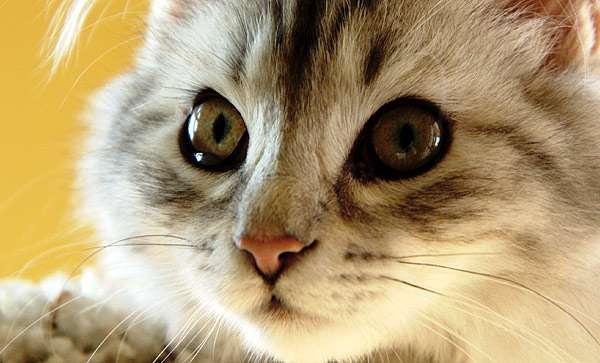 Кошачья мордочка, кошачий нос, фото кошки фотография