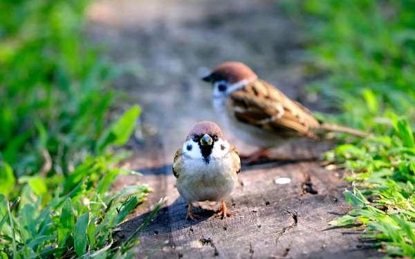 Воробьи, фото птицы фотография картинка