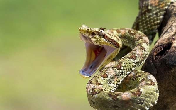 Шипящая змея, фото рептилии фотография картинка
