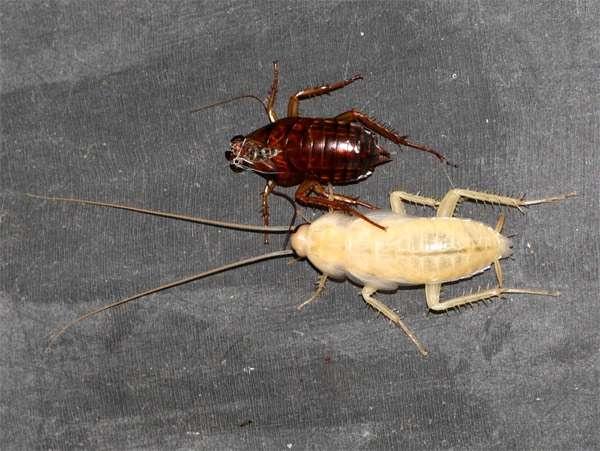 Белый таракан, фото насекомые фотография картинка