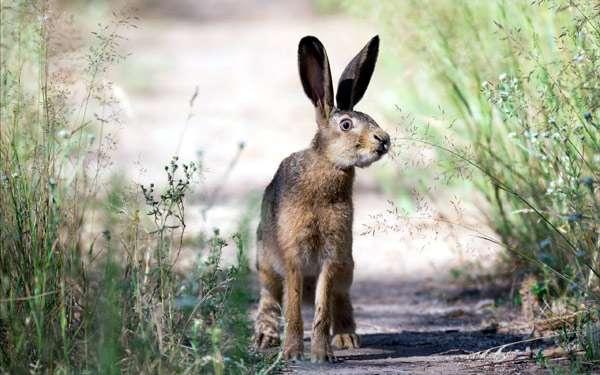 Заяц-русак, фото зайцы фотография картинка