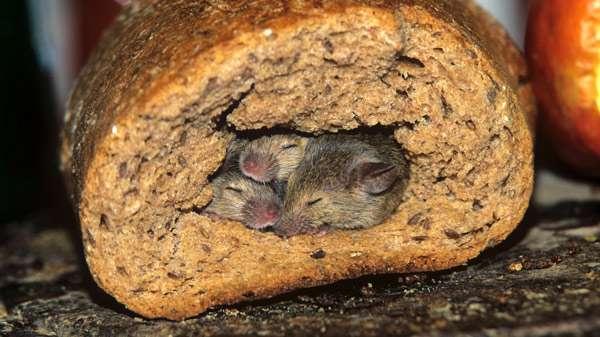 Мыши в хлебе, фото картинка фотография