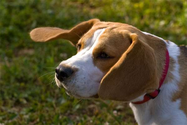 Бигль, фото породы собаки фотография