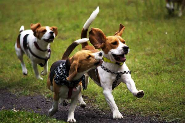 Бегущие бигли, фото гончие фотография собаки
