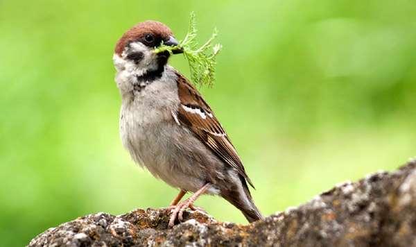Полевой воробей (Passer montanus), фото птицы фотография