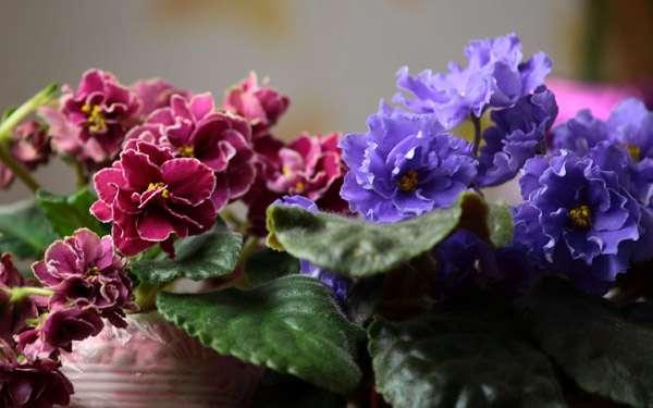Узамбарские фиалки, фото комнатные цветы фотография картинка