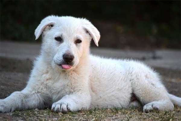 Щенок белой швейцарской овчарки, фото породы собаки фотография