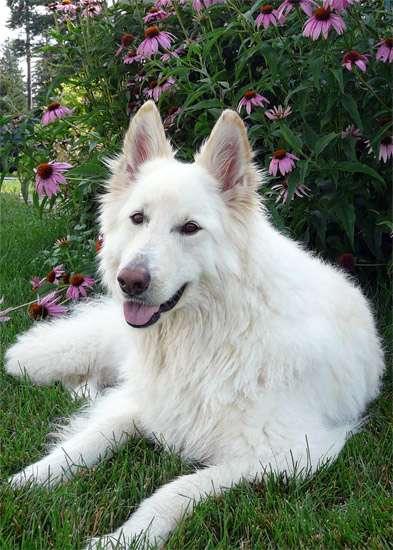 Длинношерстная белая швейцарская овчарка, фото собаки фотография картинка