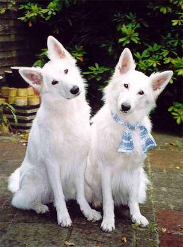 Длинношерстные белые швейцарские овчарки, фото собаки фотография изображение